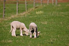 Young labs. A pair of young lambs nibbling grass Royalty Free Stock Images