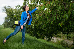 Young lady picking cherries Royalty Free Stock Images