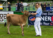 Young lady showing cattle Stock Images