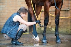 Young lady washing horse hoof by stream of water from a hose Stock Image
