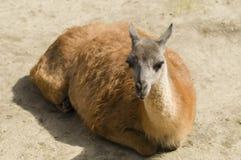 Young lama Royalty Free Stock Image