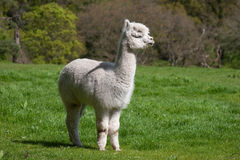 Young Lama Stock Images