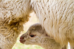 An young lama Stock Photography