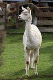 Young lama in farm Royalty Free Stock Photography