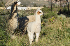 Young lama and its mother in Putre. Village, Chile Royalty Free Stock Photos