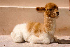 Young Lama at Purmamarca on Argentina Royalty Free Stock Photography