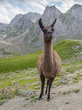 Young lama Stock Photography