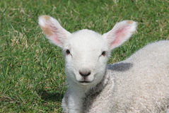 Young Lamb. Cute newly-born lamb in a lush meadow Stock Photo