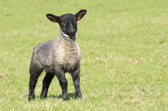 Young lamb Stock Image