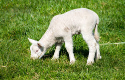 Young Lamb Royalty Free Stock Photography