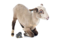 Young lamb and chick. In front of white background Stock Images