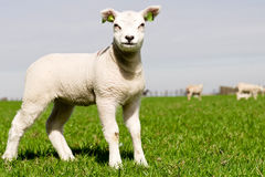 Young lamb with copy space Stock Images