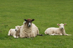 Young lamb cuddling up to Mom Stock Images
