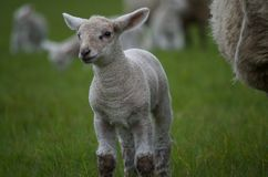 Young lamb Royalty Free Stock Image