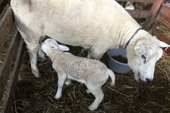 Young lamb and ewe in box inside barn on farm Stock Image