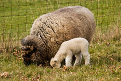 Young Lamb with Ewe mother Sheep Royalty Free Stock Image