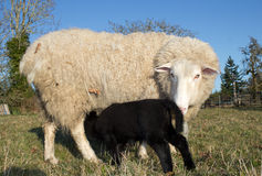 Young Lamb with Ewe mother Sheep Royalty Free Stock Photos
