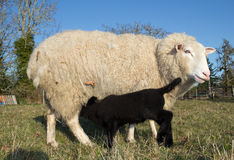 Young Lamb with Ewe mother Sheep Royalty Free Stock Photo