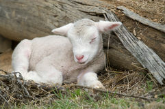 Young lamb on the farm Stock Photography
