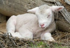 Young lamb on the farm Stock Photo