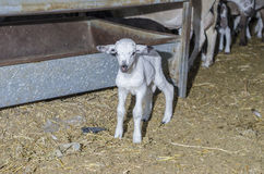 Young lamb in the farm. Stock Image