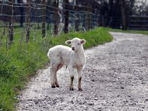 Young Lamb on a farm pathway Royalty Free Stock Photos