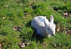 Young Lamb Stock Photo
