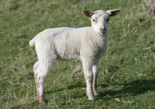 Young Lamb in a field Stock Images