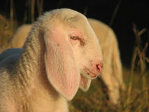 Young lamb in a flock in the mountain Stock Photography
