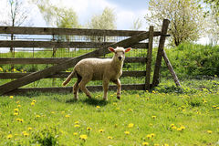 Young Lamb in front of the fence Stock Images