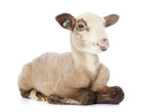 Young lamb. In front of white background Stock Photography
