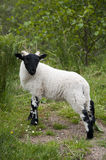 Young Lamb in Glen Roy, Scotland Royalty Free Stock Photos