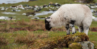 Young lamb grazing Royalty Free Stock Images
