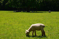 Young lamb grazing on lush pasture on English farm. Stock Photography