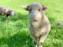 Young lamb, on a green pasture at the farm in mountains. Young sheep or lamb, on a green pasture at the farm in the mountains. Cute young baby animal portrait royalty free stock photos