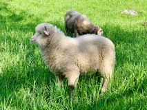 Young lamb, on a green pasture at the farm in mountains. Young sheep or lamb, on a green pasture at the farm in the mountains. Cute young baby animal portrait stock images