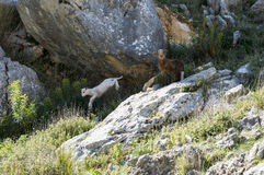 Young lamb jumping from a rock. White and brown young sheep lamb , the white jumping from a rock in andalusia spain royalty free stock photo