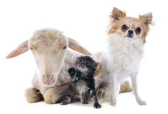Young lamb, kitten and chihuahua Royalty Free Stock Images