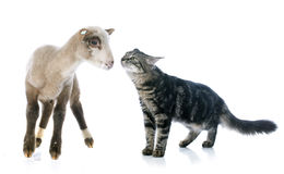 Young lamb and kitten Stock Image
