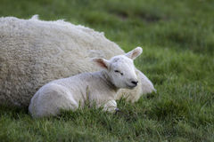 Young lamb laying by mother sheep in a field Royalty Free Stock Photo