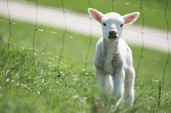 Young lamb Royalty Free Stock Photos