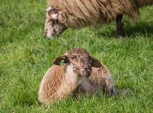Young lamb lying in the grass Stock Photos