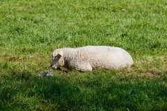 Young lamb lying on a green meadow royalty free stock images