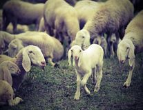 Young lamb in the middle of the numerous flock of sheep grazing Stock Photo