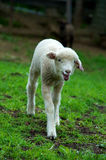 Young lamb in pasture Royalty Free Stock Images