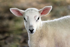 Young lamb portrait Royalty Free Stock Photo