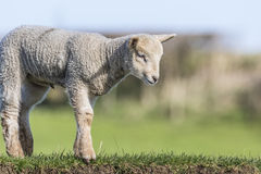 Young Lamb on a River Bank Stock Images