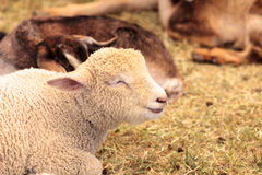 Young lamb sheep rests in a pen on a farm Royalty Free Stock Image