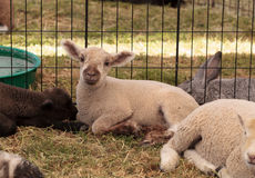 Young lamb sheep rests in a pen on a farm Royalty Free Stock Photo