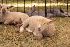 Young lamb sheep rests in a pen on a farm. In summer Royalty Free Stock Photography